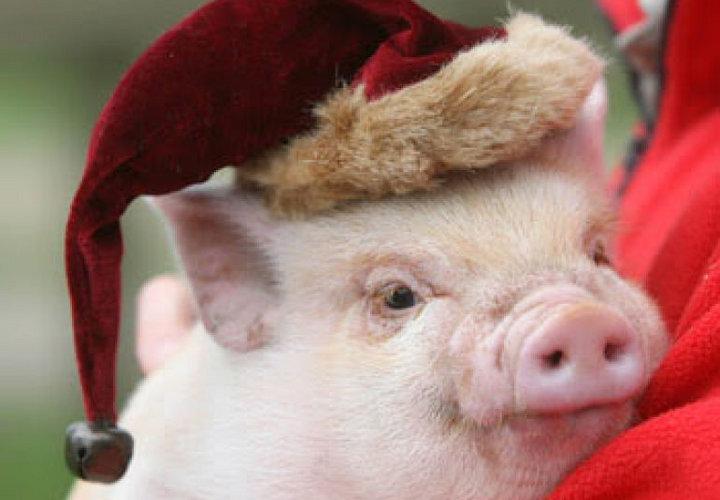 свинья в шапочке санты