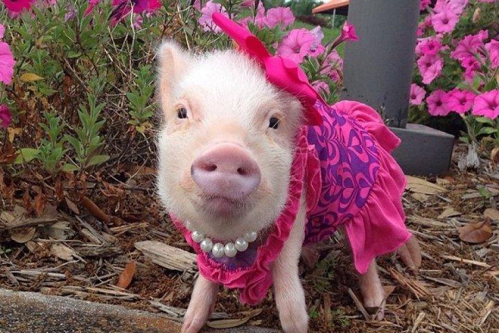 свинья в платье
