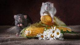 крысы на кукурузе