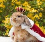 кролик в короне