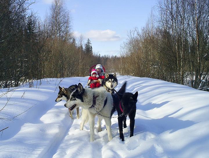 Новый год в Карелии: езда на собачьих упряжках