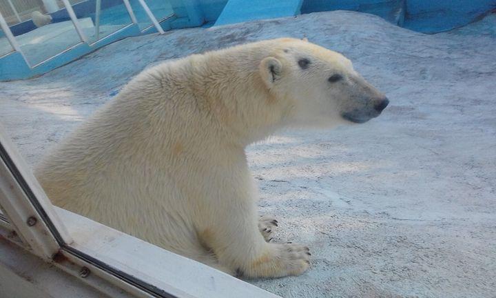 Белый медведь в Сафари-парке в Геленджике