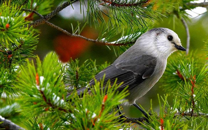 птица на еловой ветке