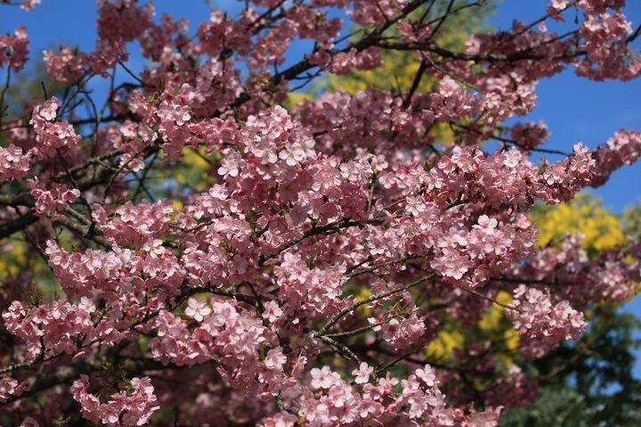 Цветение сакуры в 2019 году