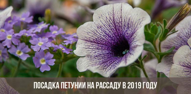 Когда сажать петунию на рассаду в 2019 году по лунному календарю