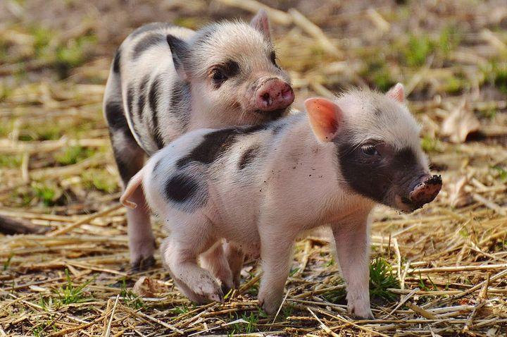 Маленькие свинки