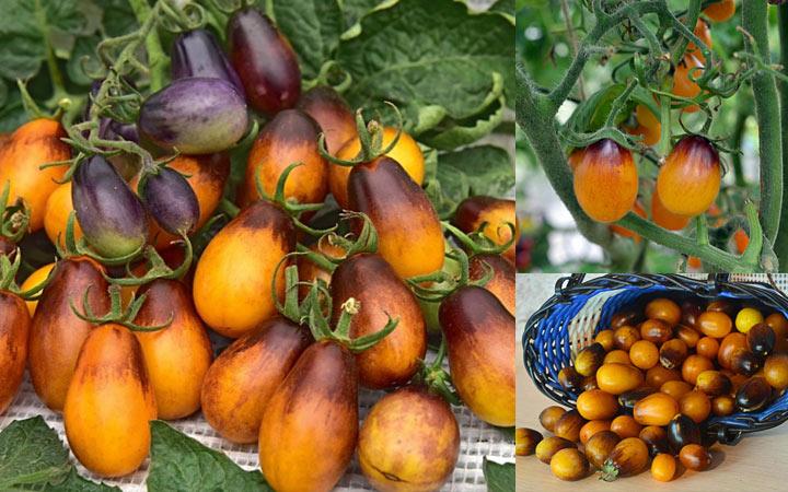 Сливовая капля необычный помидор 2019 года