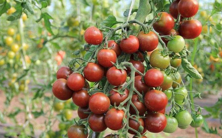 Черный жемчуг - новый томат 2019 года