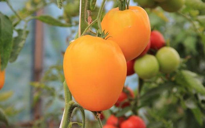 Лисенок - новый томат 2019 года