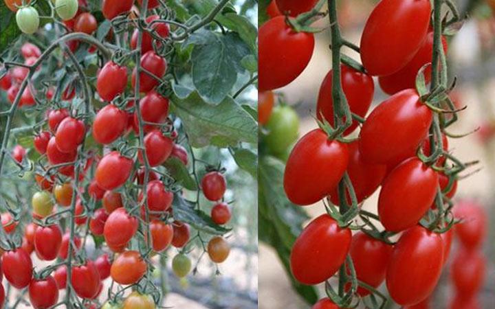 Кира - новый длинный помидор 2019 года