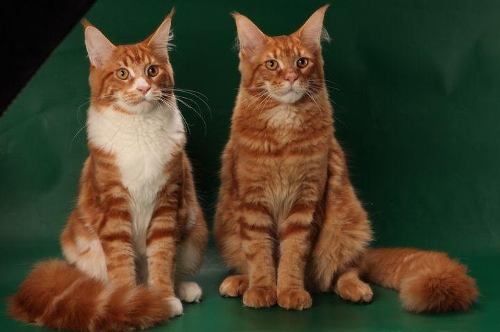 Мейн-куны на выставке кошек