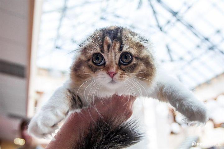 Осмотр котенка на выставке кошек