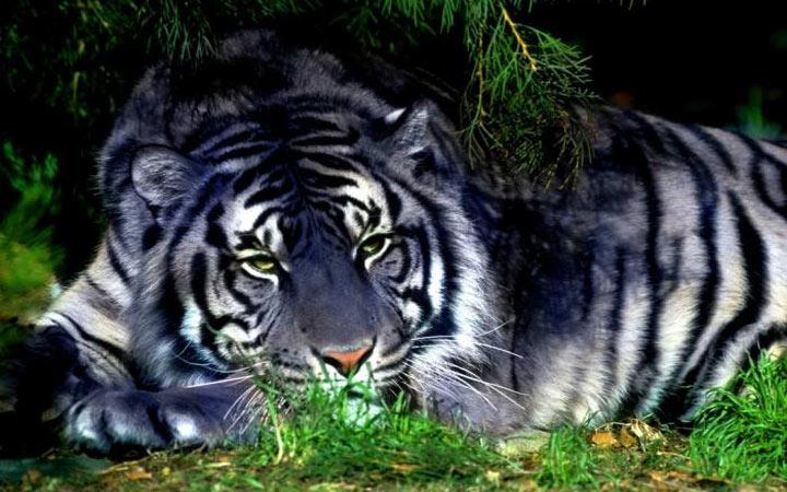 Характер рожденных в 2022 году Черного Водяного Тигра