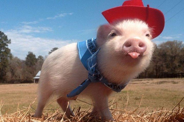 свинья ковбой