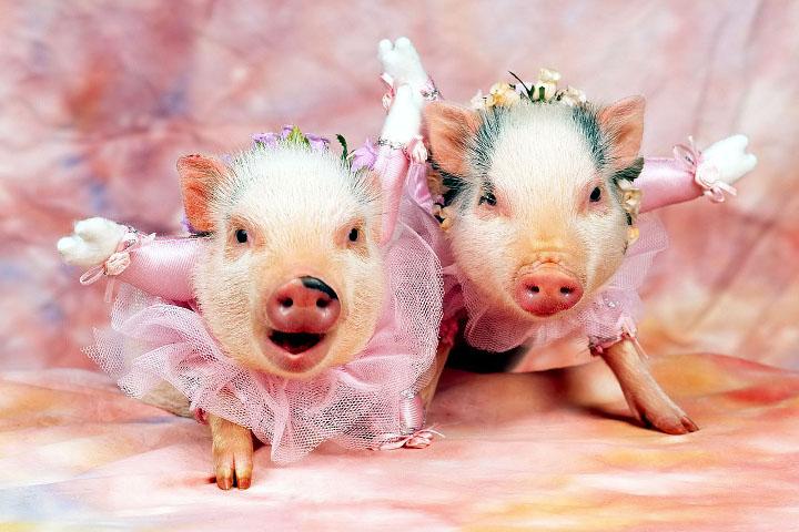 свиньи в платье
